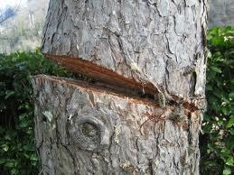 Nidiaci albero